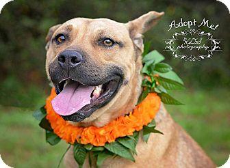 Rottweiler/German Shepherd Dog Mix Dog for adoption in Fort Valley, Georgia - Lightening