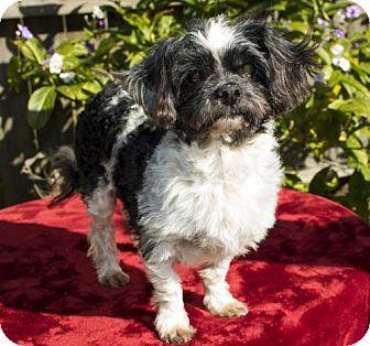 Shih Tzu Dog for adoption in Santa Fe, Texas - Nelson--- S--VIdeo