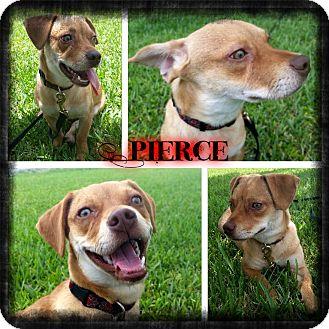 Dachshund/Terrier (Unknown Type, Small) Mix Puppy for adoption in Miami, Florida - Pierce