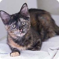 Adopt A Pet :: Chocolate - Merrifield, VA