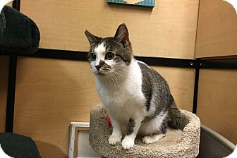 Domestic Shorthair Cat for adoption in Riverside, California - Sage
