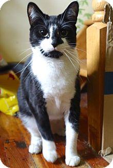 American Shorthair Cat for adoption in Brooklyn, New York - Leonora