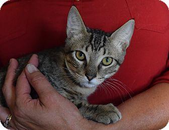 Domestic Shorthair Kitten for adoption in Surrey, British Columbia - Nathan