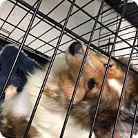 Adopt A Pet :: BEAUTY - Dublin, OH