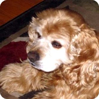 Cocker Spaniel Mix Dog for adoption in Sacramento, California - Kara