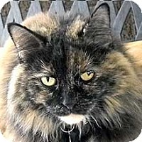 Domestic Longhair Cat for adoption in Phoenix, Arizona - Shalimar