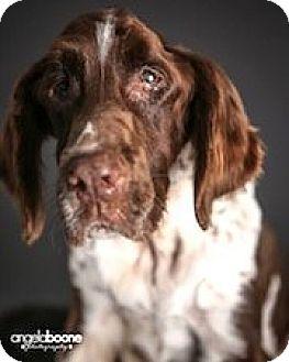 English Springer Spaniel Dog for adoption in Minneapolis, Minnesota - Jordy