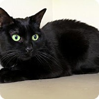 Domestic Shorthair Cat for adoption in Bellevue, Washington - Naamah