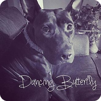 Pit Bull Terrier Dog for adoption in Mission, Kansas - Dancing Butterfly