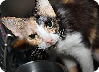 Calico Cat for adoption in Marietta, Ohio - Susie Belle (FeLV+) - Update