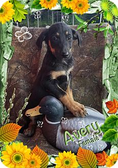 Shepherd (Unknown Type) Mix Puppy for adoption in Manchester, Connecticut - Avery meet me 10/21