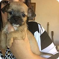 Adopt A Pet :: Ginny - Brea, CA