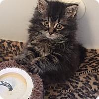 Adopt A Pet :: Princess Poppy - Sterling Hgts, MI