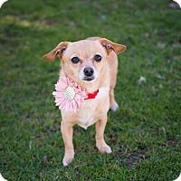 Adopt A Pet :: Amber ~ Little Peanut! - Caldwell, NJ