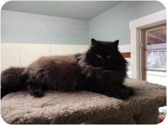 Domestic Longhair Cat for adoption in Kingston, Washington - London
