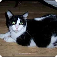 Domestic Shorthair Cat for adoption in Houston, Texas - Helena