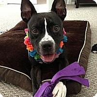 Adopt A Pet :: Renata - Houston, TX