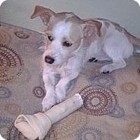 Adopt A Pet :: Tozzo - West Hartford, CT