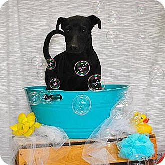 Terrier (Unknown Type, Medium) Mix Puppy for adoption in Del Rio, Texas - Spartan