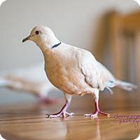 Adopt A Pet :: Olivia - Lenexa, KS