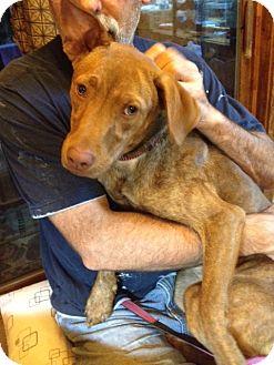 Vizsla/Labrador Retriever Mix Dog for adoption in New Hartford, New York - Penny - Sweet and Friendly!!