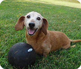 Dachshund Dog for adoption in Charlotte, North Carolina - Scooter