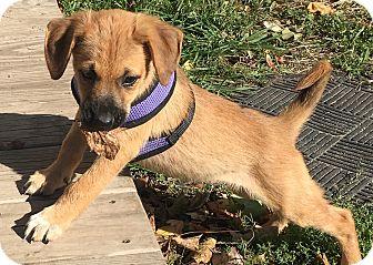 Labrador Retriever/Hound (Unknown Type) Mix Puppy for adoption in Pennigton, New Jersey - Tayson