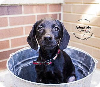 Labrador Retriever/Terrier (Unknown Type, Medium) Mix Puppy for adoption in Charlotte, North Carolina - Kooky (Addams Family Litter)