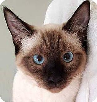 Siamese Cat for adoption in Tiburon, California - Nori