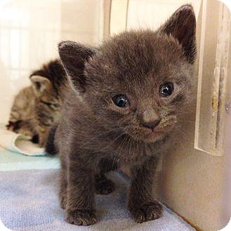 Domestic Shorthair Kitten for adoption in Dallas, Texas - Rowan