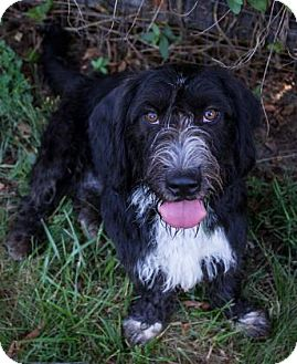 Basset Hound/Wirehaired Fox Terrier Mix Dog for adoption in Fairfax, Virginia - Star