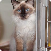 Adopt A Pet :: Sapphire-Blue eyed Beauty - Arlington, VA