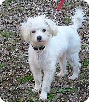 Maltese/Bichon Frise Mix Dog for adoption in Westport, Connecticut - Cotton