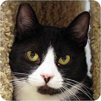 Domestic Shorthair Cat for adoption in Los Angeles, California - Sweet Pea