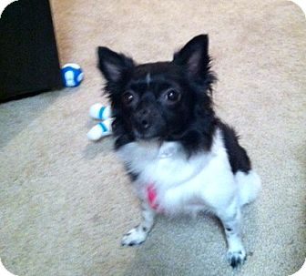 Pomeranian/Chihuahua Mix Dog for adoption in Phoenix, Arizona - Sweet Pea