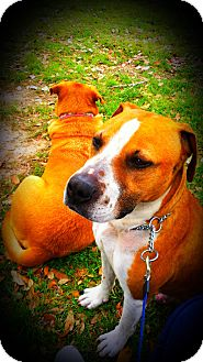 Pit Bull Terrier/Boxer Mix Dog for adoption in Spring Branch, Texas - Uno