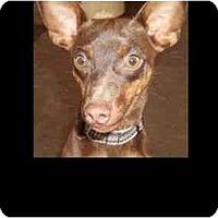 Adopt A Pet :: Choco - Phoenix, AZ