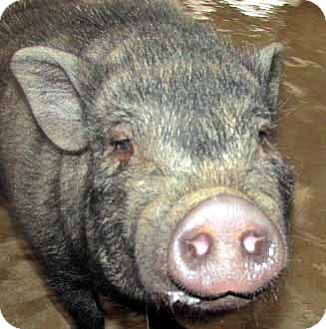Pig (Potbellied) for adoption in Germantown, Maryland - Babe
