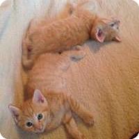 Adopt A Pet :: Vladimir - Reston, VA