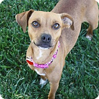 Adopt A Pet :: Phoebe - 15 lbs! - Bellflower, CA