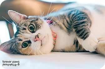 Domestic Shorthair Cat for adoption in Gainesville, Florida - Kim