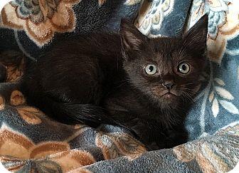 Domestic Shorthair Kitten for adoption in Tampa, Florida - Tokyo