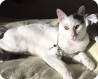 Domestic Shorthair Kitten for adoption in Garland, Texas - Spot