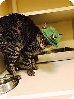 Domestic Shorthair Cat for adoption in Elizabeth City, North Carolina - Speedy