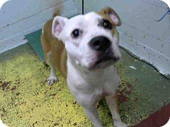 Pit Bull Terrier Mix Dog for adoption in Atlanta, Georgia - LISA