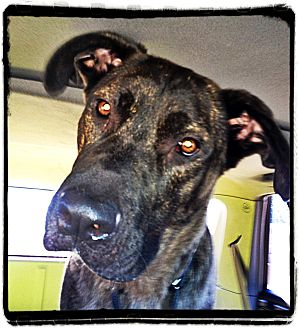 Mastiff/Shepherd (Unknown Type) Mix Dog for adoption in Broomfield, Colorado - Huey