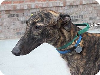 """Greyhound Dog for adoption in Smyrna, Tennessee - LB's Nailed Shut """"Link"""""""