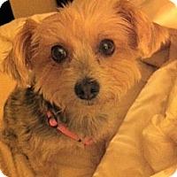 Adopt A Pet :: Holly - Goodyear, AZ