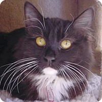 Domestic Longhair Cat for adoption in Mountain Center, California - Monica