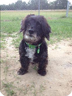 Poodle (Miniature) Mix Dog for adoption in Barnwell, South Carolina - Pete